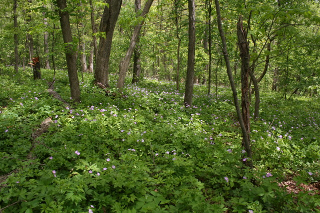 A place in the woods where the invasives have been removed and the native plants are thriving.