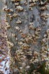 Stereum complicatum, Crowded Parchment, Hymenomycetes, Bracket or Shelf Fungi, Basidiomycota
