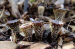 Cyathus striatus, Dung-loving Bird's Nest Fungus, Gasteromycetes, Stomach Fungi, Basidiomycota