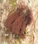 Stemonitis sp, Mycetozoa, Slime Mold, Fungi