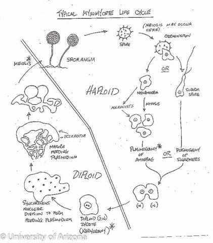 Myxomycetes Life Cycle