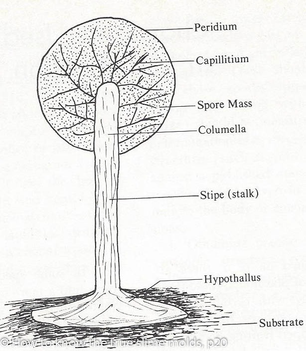 Molds Fungi Diagram