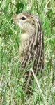 Thirteen-lined Ground squirrel, Ictidomys tridecemlineatus