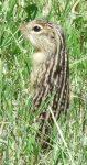 Thirteen-lined Ground squirrel, Ictidomys tridecemlineatus