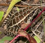 Pickerel frog, rana palustris