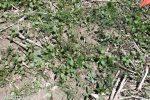 Hedge bindweed, invasives, Calystegia sepium, Convolvus arvensis