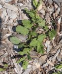 Field bindweed, invasives, Convolvus arvensis