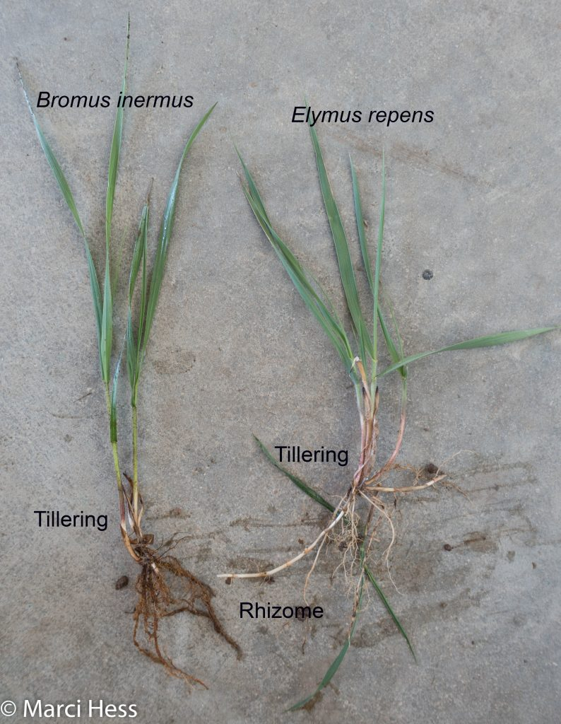 Invasive, cool season grass