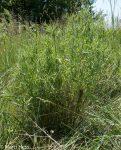 Invasives, Spotted knapweed, Centaurea maculosa