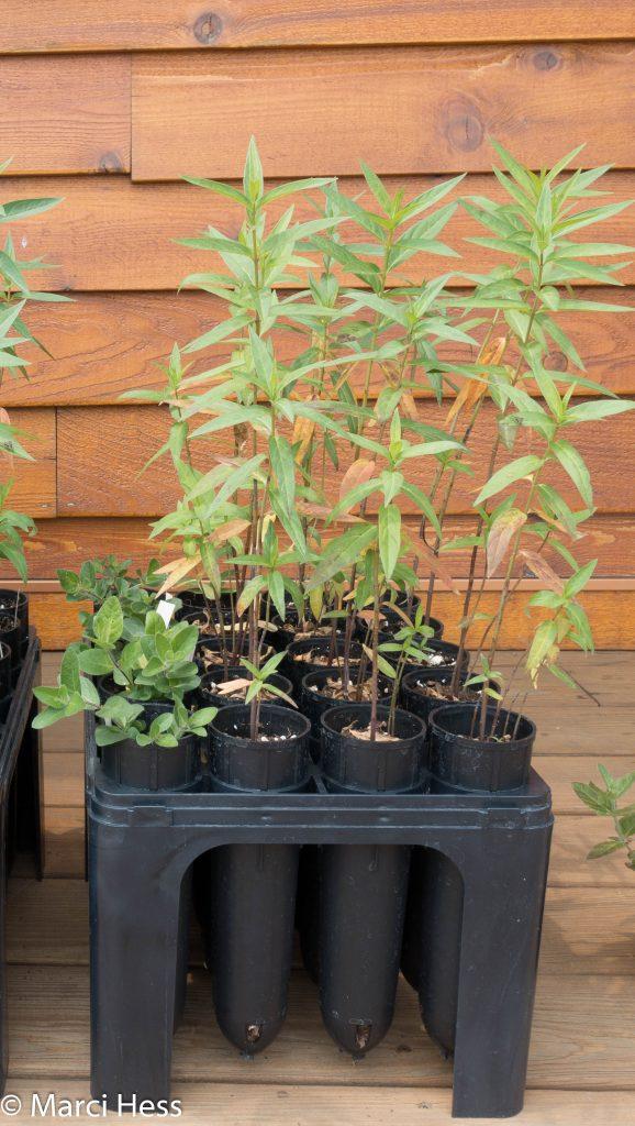 Propagation, milkweed, deepots