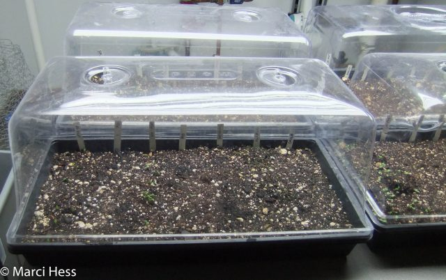 Propagation, germination trays