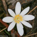 Sanguinaria canadensis, Bloodroot