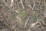 Mouse-eared Chickweed, Cerastium vulgatum