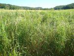 Reed canarygrass