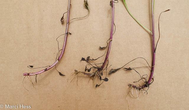 Oxeye Daisy, Leucanthemum vulgare