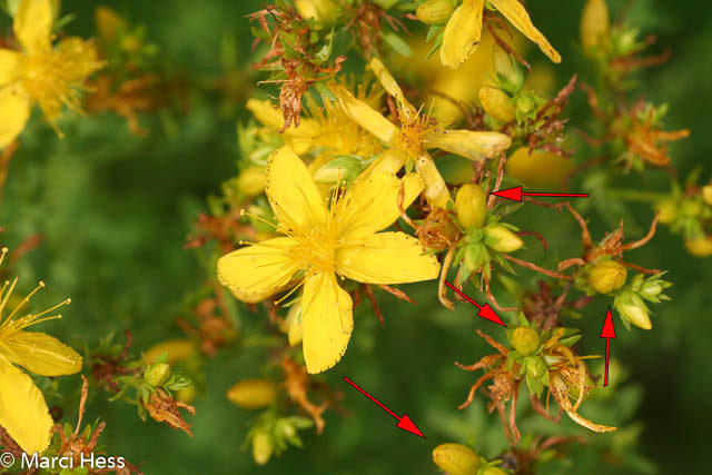 Common St Johnswort, Hypericum perfolatum