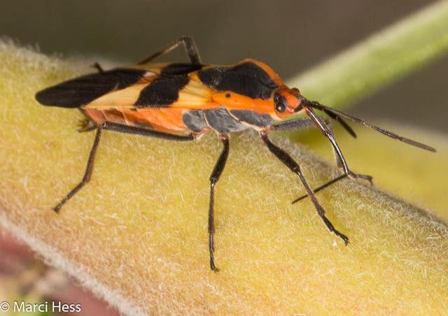 Hemiptera, lygaeidae, Large milkweed bug, Oncopeltus fasciatus, milkweed