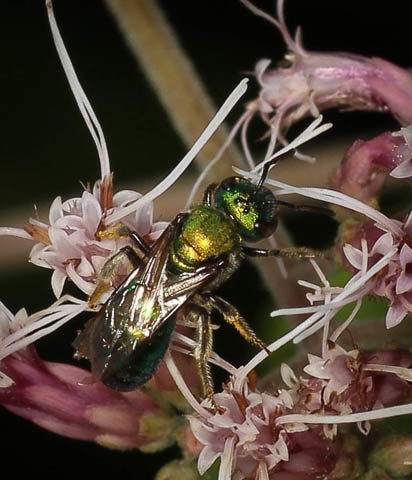 Augochlora, hymenoptera, halictidae, milkweed