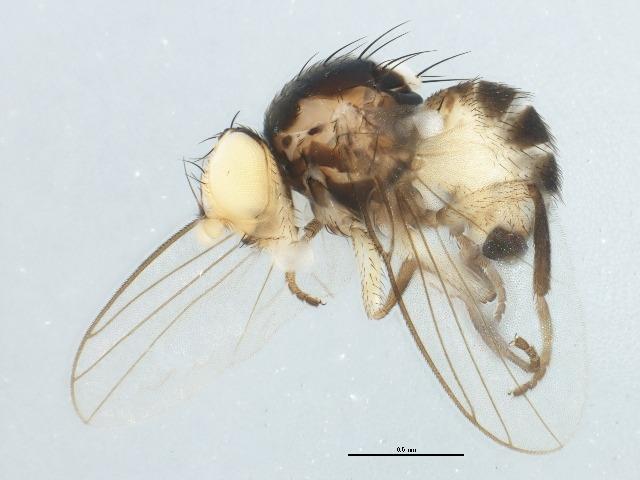 Diptera, agromyzidae, Liriomyza asclepiadis, milkweed
