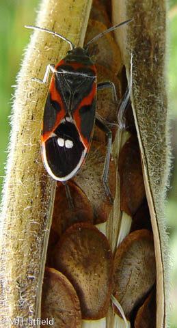 Hemiptera, lygaeidae, milkweed, lygaeus kalmii