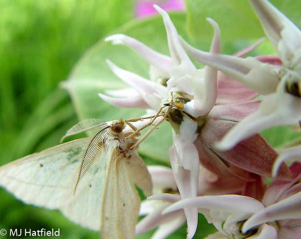 Geometrid, milkweed, lepidoptera