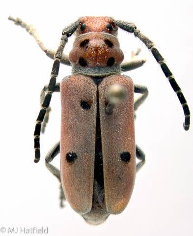 Cerambycidae, milkweed, Tetraopes annulatus