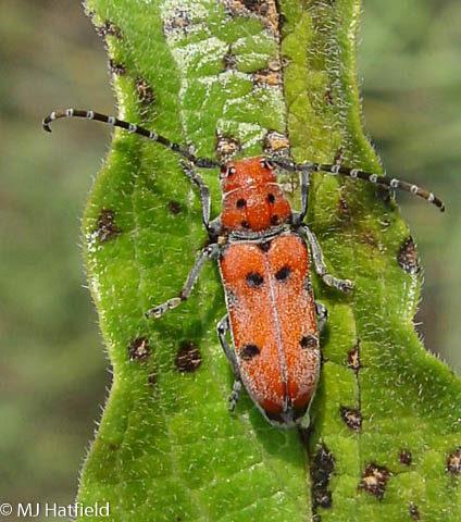 Cerambycidae, milkwee, Tetraopes femoratus