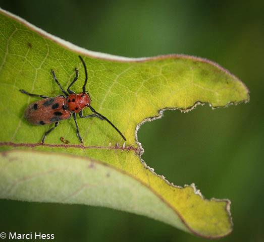 Cerambycidae, milkweed, red milkweed beetle, Tetraopes tetrophthalmus