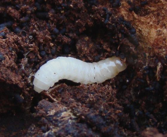 Forked fungus beetle, Bolitotherus cornutus, Ganoderma applanatum