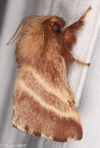Eastern tent caterpillar moth, Malacosoma americana