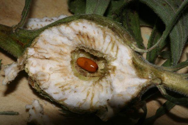 Goldenrod gall fly larva, Eurosta solidaginis, Canada goldenrod, Solidago canadensis, gall