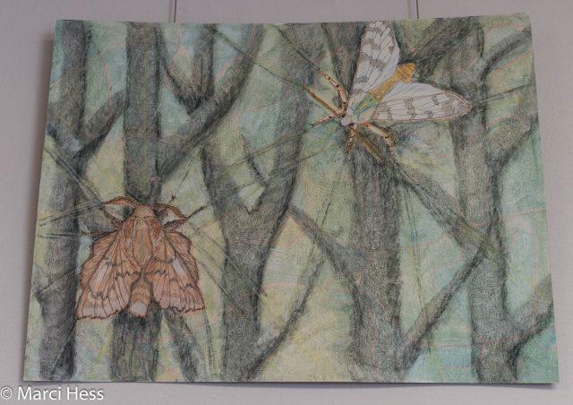 Halysidota tessellaris, Phyllodesma americana