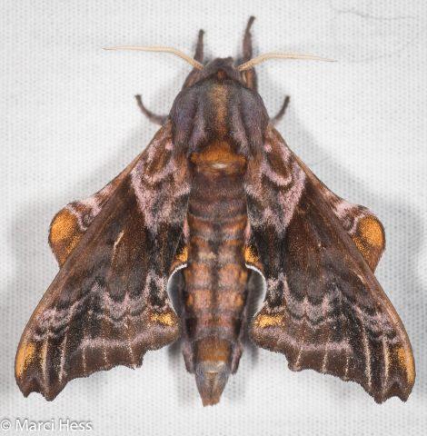 Lepidopterart