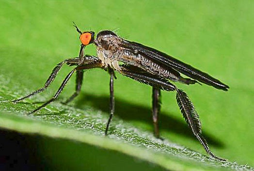 Rhamphomyia longicauda, Empididae