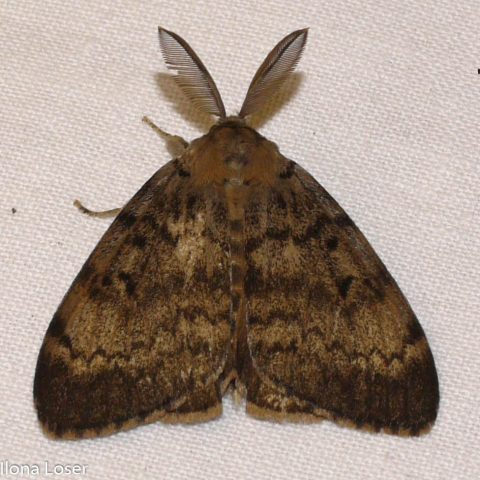 Gypsy moth, Lymantria dispar