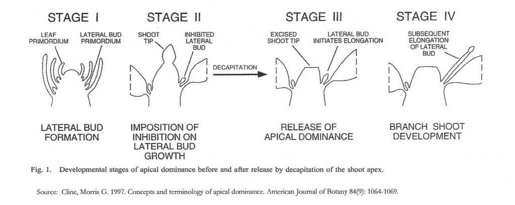Developmental stages of apical dominance before and after decapitation.