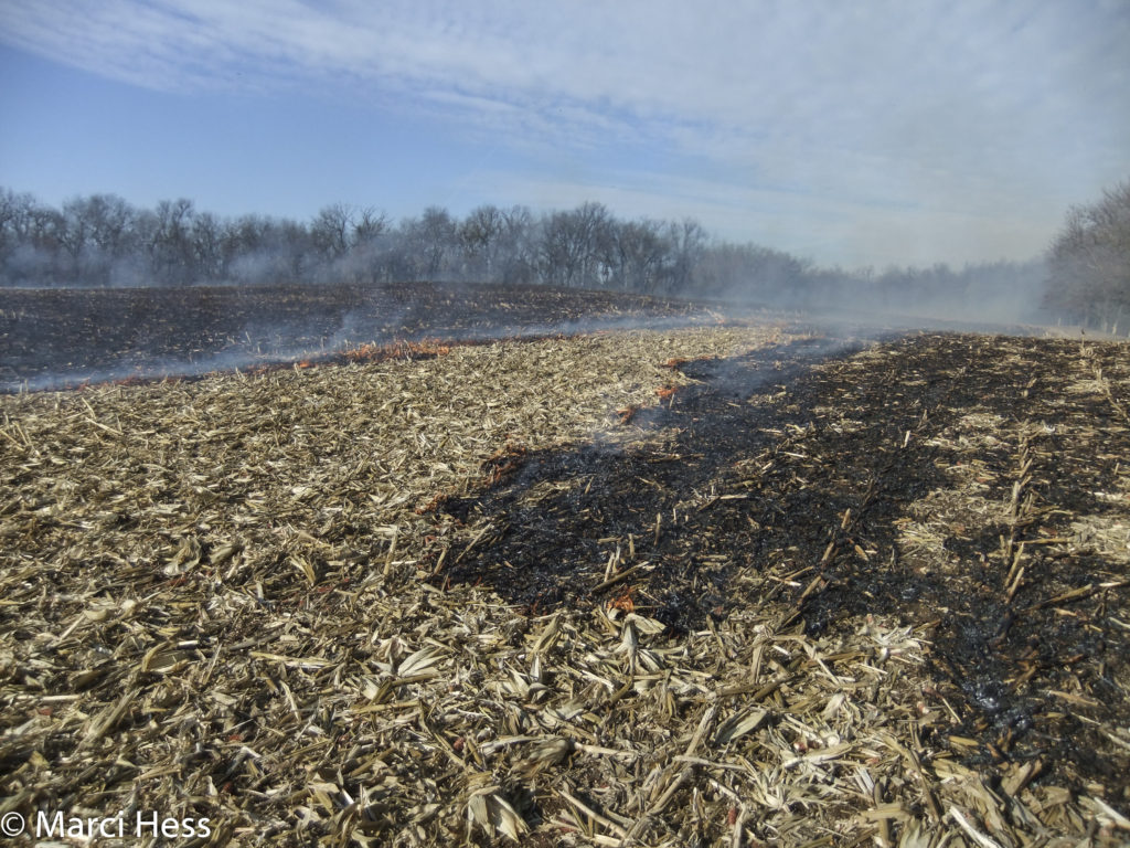 After harvesting and mowing, the remaining corn litter is thick.
