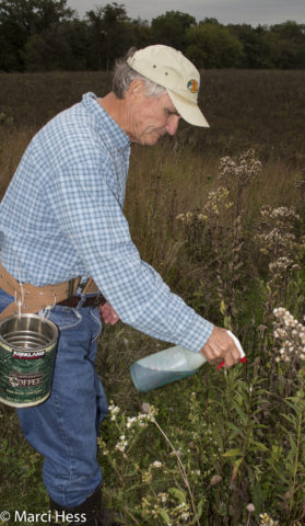 Jim using the spray bottle on the first year goldenrods