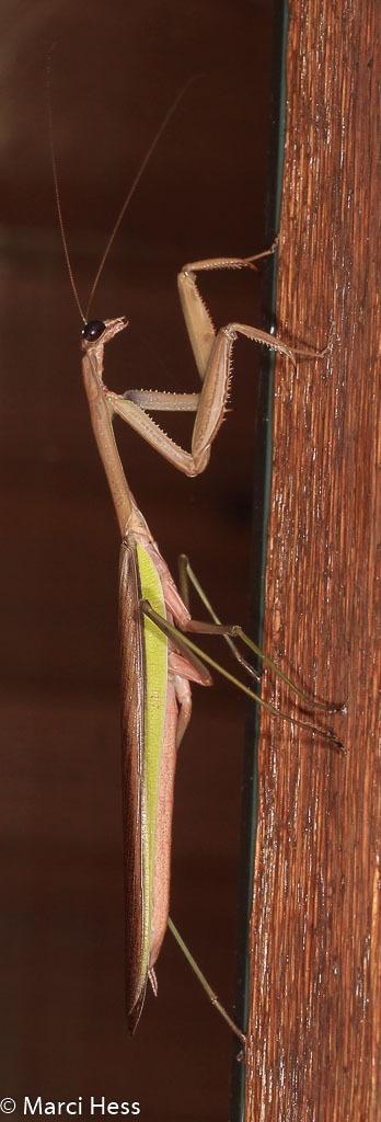 Mantis religiosa - European Praying Mantis