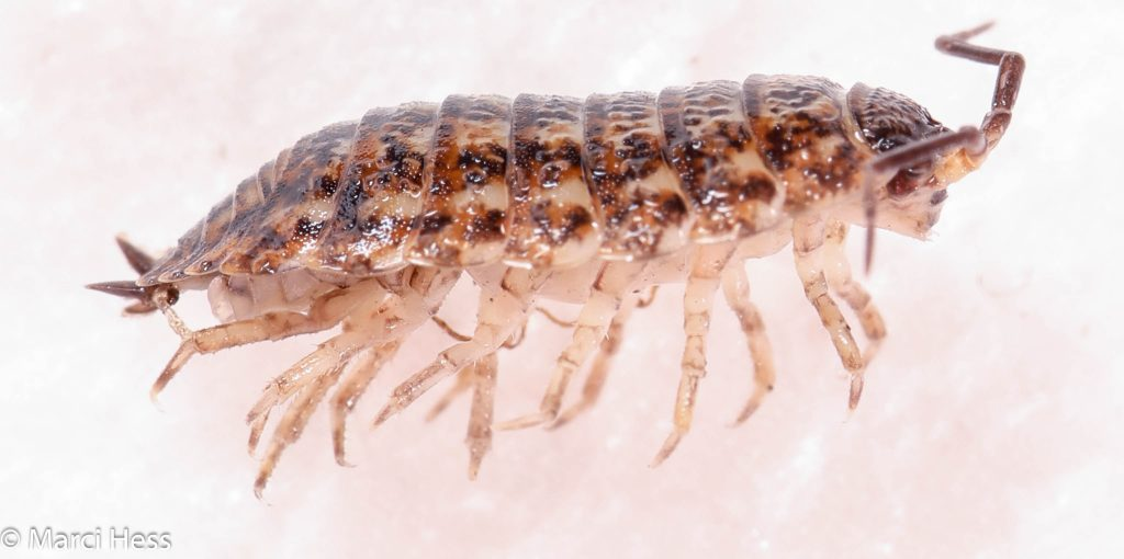 Trachelipodidae, Trachelipus rathkii