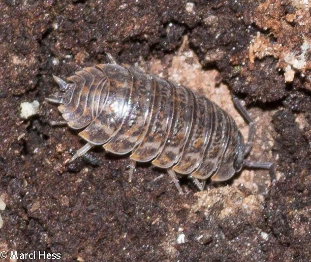 Oniscidae, Oniscus asellus
