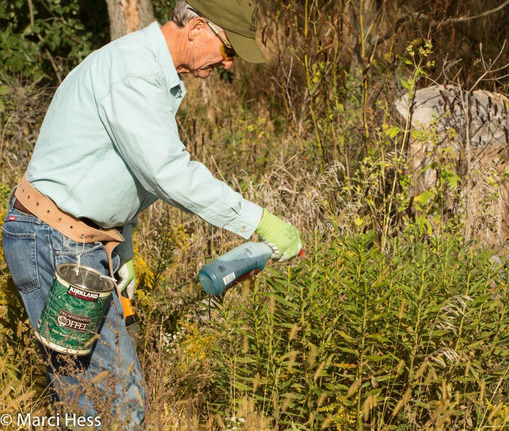 Jim herbiciding lopped goldenrod