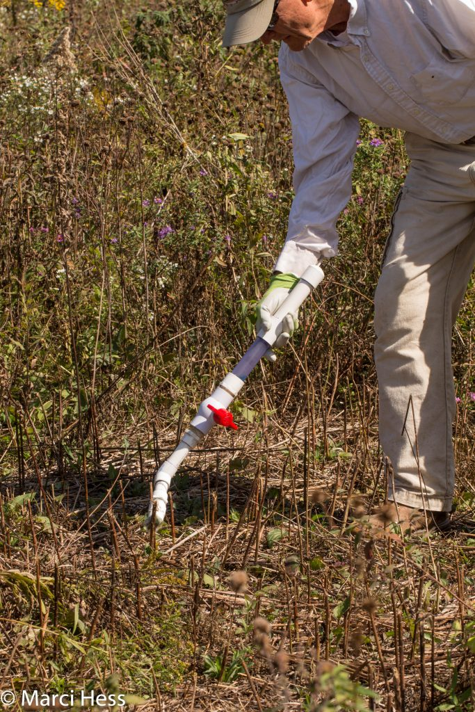 Jim using the PVC pipe to swipe herbicide on cut Tall goldenrod stems.